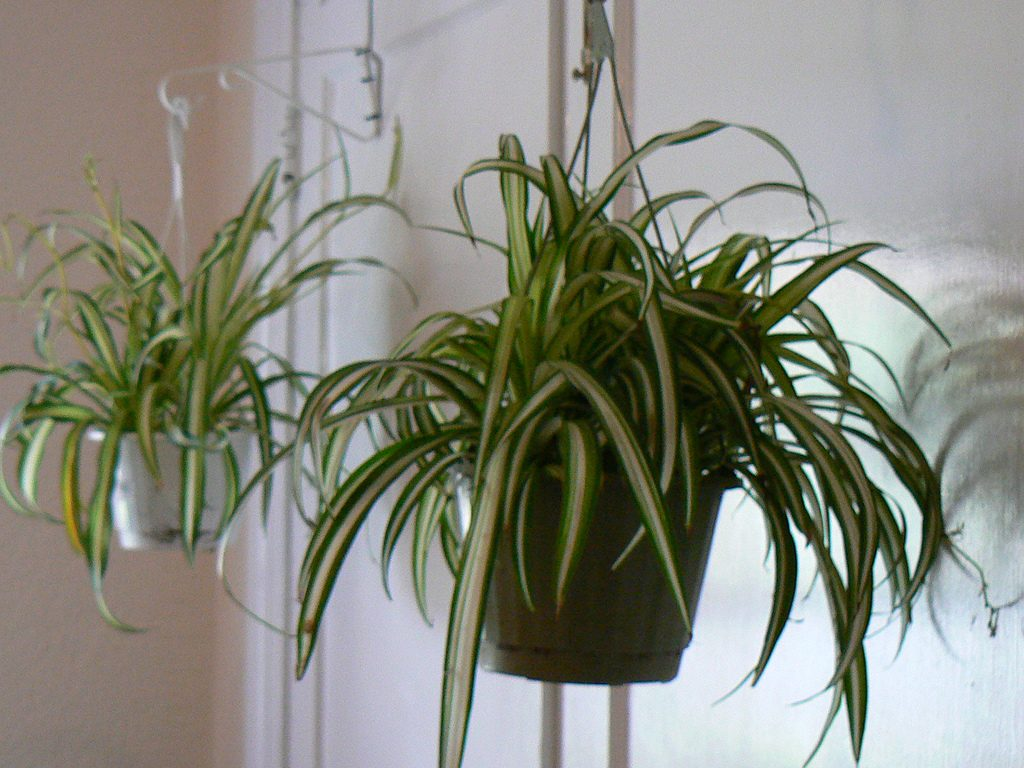 image of a spider plant with the offshoots you can clip and grow elsewhere
