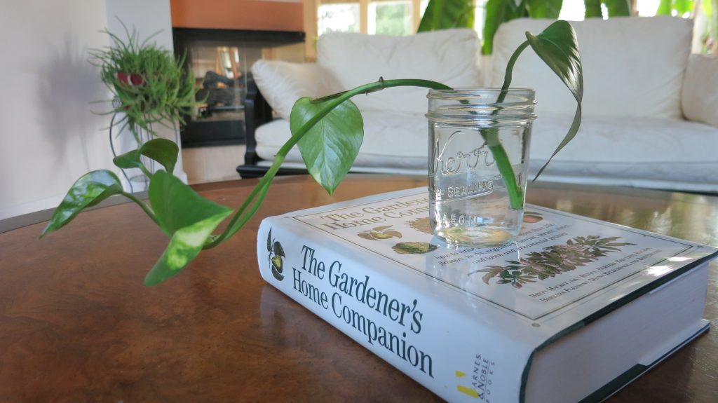 image of a Pothos plant in a glass jar growing beautifully