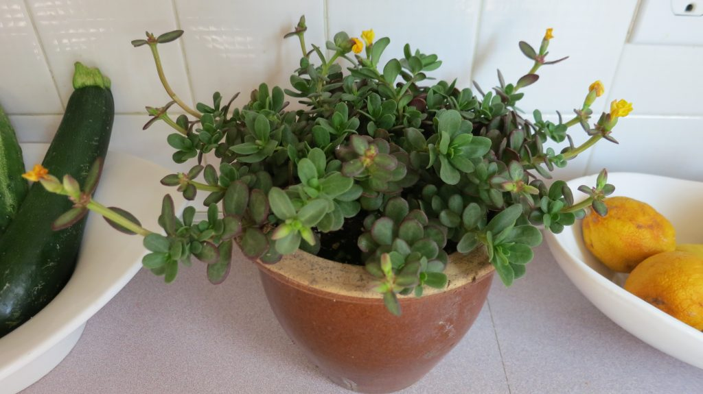 image of a potted rose moss plant with blooms