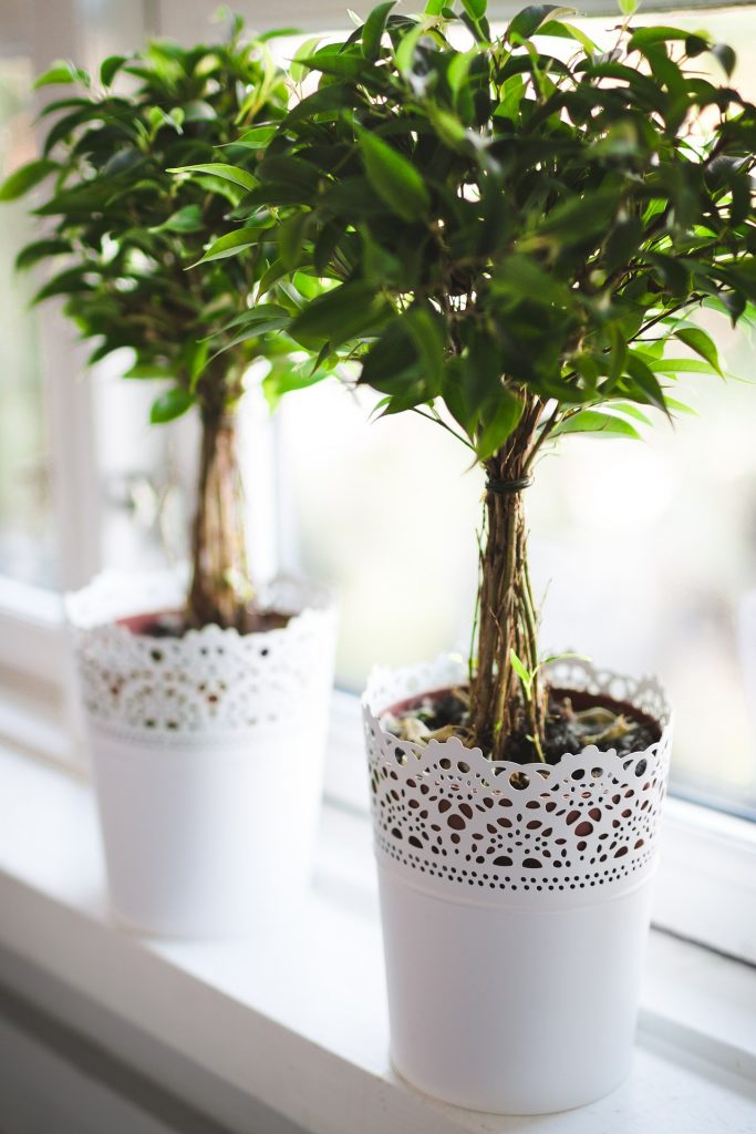 image of small potted fig trees sitting on a sunny window sill